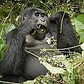 Eating Mountain Gorilla by Juergen Ritterbach
