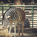 Eating Zebra by Pati Photography