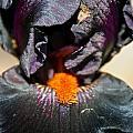 Ebony Iris by Susan Herber