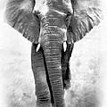 Ebony Ivory African Elephant by Athena Mckinzie