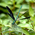 Ebony Jewelwing by Cheryl Baxter