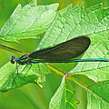 Ebony Jewelwing Damselfly - Calopteryx Maculata by Mother Nature