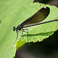 Ebony Jewelwing Damselfly  by Frank Selvage