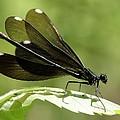 Ebony Jewelwing Fluttering For Male by Doris Potter