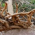 Eccentric Tree Root Growing In Ein Gedi by Doc Braham