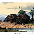 Echidna Or Porcupine Anteater by Splendid Art Prints