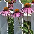 Echinacea And A White Picket Fence by Valerie Kirkwood