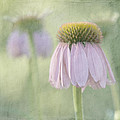 Echinacea Coneflower