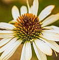 Echinacea Fading Beauty by Omaste Witkowski