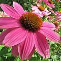 Echinacea Garden by Jennifer Wheatley Wolf