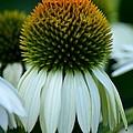 Echinacea Gold II by Maria Urso