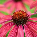 Echinacea  by Jeanne May