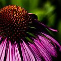 Echinacea  by Patrick Moore