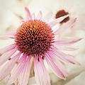 Echinacea by Priska Wettstein