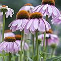 Echinacea Purpurea by Juli Scalzi