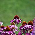 Echinacea Purpurea by Ms Judi