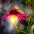 Echinacea Sunrise by Bob Orsillo