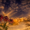 Echinacea Sunset by Bob Orsillo