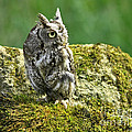 Echo Of An Eastern Screech Owl  by Inspired Nature Photography Fine Art Photography