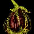 Eggplant From Jennifers' Garden by Robert Woodward