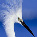 Egret 16 by Ingrid Smith-Johnsen