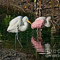 Egret And Pink Spoonbill by Stephen Whalen