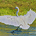 Egret Full Wing Span by Deborah Benoit