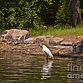 Egret In Central Park by Madeline Ellis