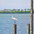 Egret In Dunedin Florida by Bill Cannon