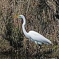Egret In Marsh In Display  by Lizi Beard-Ward