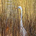 Egret In The Grass by William Selander