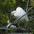 Louisiana Egret With Babies In Swamp by Luana K Perez