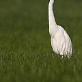 Egret Looking For Lunch by Bryan Keil
