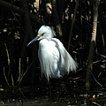 Egret Of Sanibel 2 by David Weeks