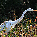 Egret On The Move by Crystal Heitzman Renskers