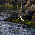 Egret On The Rocks by Bill Cannon