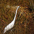 Egret by Paul Wilford