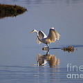 Egret Reflections by Mike  Dawson