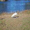 Egret by Robert Floyd