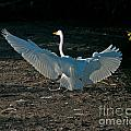 Egret Showing Off by Stephen Whalen