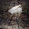 Egret Strut by Belinda Greb