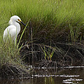 Egret by Terry DeLuco