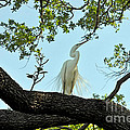 Egret Waiting For Mating  by Lydia Holly
