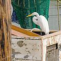 Egret With Fishing Net by Allen Sheffield