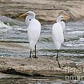 Egrets 4649 by Jack Schultz