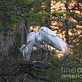 Egrets At Nest by Lizi Beard-Ward