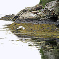 Egrets by Barbara McDevitt