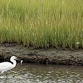 Egret's Catch by Karol Livote
