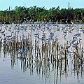 149838-egrets Feeding, Everglades Nat Park  by Ed  Cooper Photography