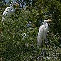 Egrets In Tree by Dale Powell